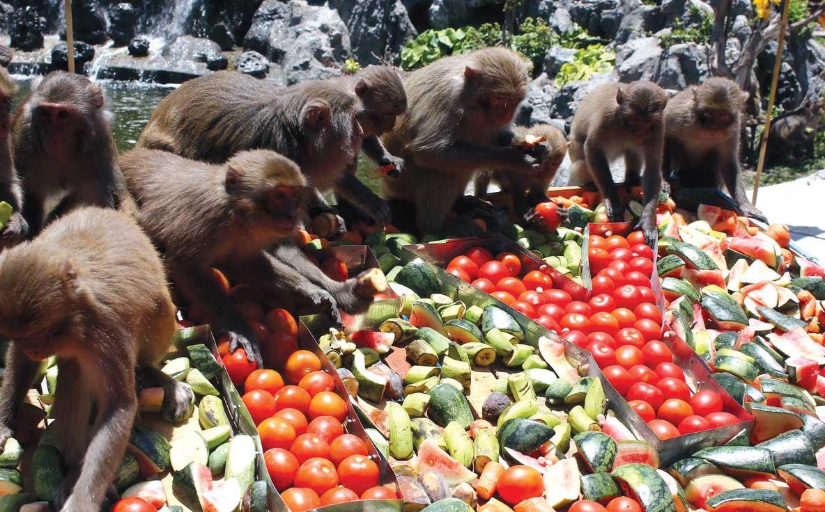 Khỉ Ăn Trái Cây