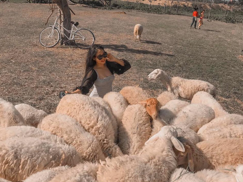Check-in Với Những Chú Cừu Dễ Thương