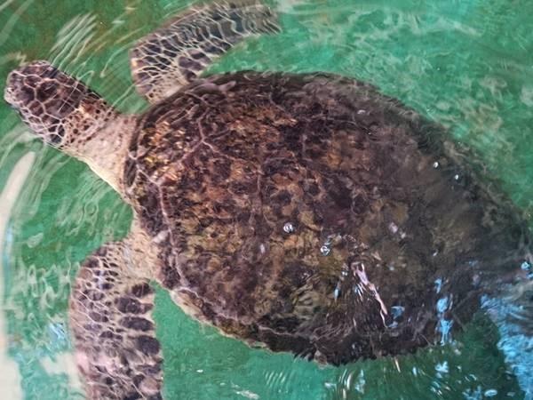 Cụ rùa hơn 30 năm tuổi