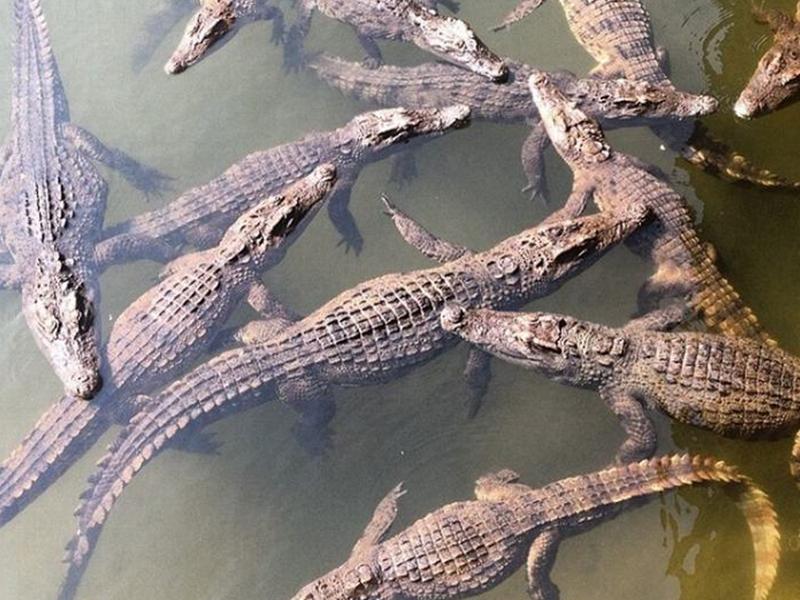 Cá sấu Thác Yang Bay